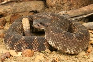 Southern Pacific Rattlesnake (Crotalus viridis helleri)